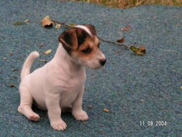 Jack_russell_image